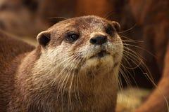 Retrato da lontra Imagens de Stock Royalty Free