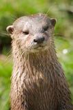 Retrato da lontra Fotografia de Stock Royalty Free
