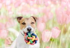 Retrato da mola do cão feliz com a bola do brinquedo no fundo de florescência das tulipas fotografia de stock
