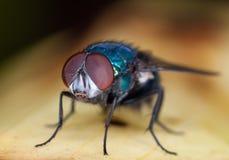 Retrato da mosca Fotografia de Stock Royalty Free