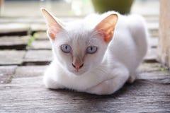 Retrato da ocupa branca bonito do gato fotos de stock