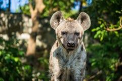 Retrato da parte anterior da hiena Foto de Stock
