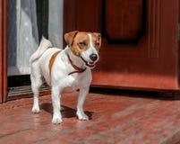 Retrato da parte externa ereta do terrier pequeno bonito de Russel do jaque do cão no patamar de madeira da casa velha perto do e imagens de stock royalty free