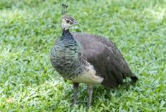 Retrato da pena do pavão no jardim zoológico Imagem de Stock