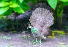 Retrato da pena do pavão no jardim zoológico Fotografia de Stock