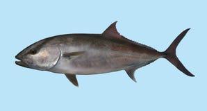 Retrato da pesca do Amberjack imagem de stock