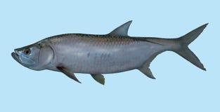 Retrato da pesca do tarpão imagens de stock