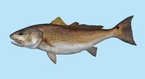 Retrato da pesca dos salmonetess do cilindro vermelho fotografia de stock royalty free