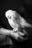 Retrato da pomba branca foto de stock