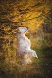 Retrato da posição engraçada do cão do golden retriever nos pés traseiros fora na floresta do outono fotografia de stock