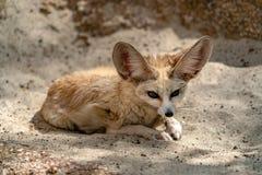 Retrato da raposa do deserto de Fennec fotos de stock royalty free