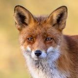 Retrato da raposa vermelha Imagem de Stock