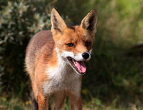 Retrato da raposa vermelha Fotografia de Stock Royalty Free
