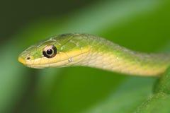 Retrato da serpente Imagem de Stock