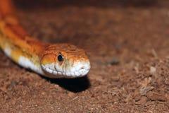 Retrato da serpente de milho Fotos de Stock