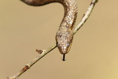 Retrato da serpente lisa Fotografia de Stock Royalty Free