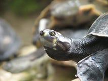 Retrato da tartaruga de água doce Fotografia de Stock Royalty Free