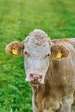 Retrato da vaca Fotos de Stock Royalty Free