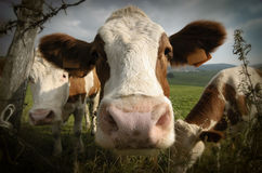 Retrato da vaca Fotografia de Stock Royalty Free