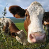 Retrato da vaca Imagens de Stock Royalty Free
