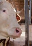 Retrato da vaca Foto de Stock