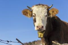 Retrato da vaca com sino Imagens de Stock