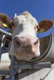 Retrato da vaca contra o céu azul Fotografia de Stock Royalty Free