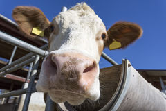 Retrato da vaca contra o céu azul Fotos de Stock