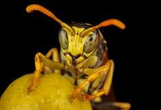 Retrato da vespa Imagem de Stock
