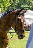 Retrato da vista lateral de um cavalo do adestramento da baía Fotografia de Stock