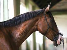 Retrato da vista lateral de um cavalo do adestramento do jovem Fotografia de Stock