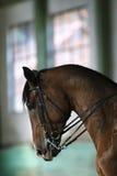 Retrato da vista lateral de um close up novo do cavalo do adestramento Imagens de Stock Royalty Free