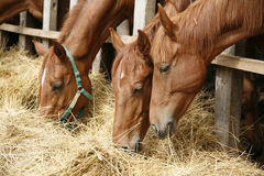 Retrato da vista lateral do grupo de pastar cavalos Fotos de Stock