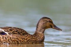 Retrato da vista lateral dos platyrhynchos dos Anas do pato selvagem que nadam Foto de Stock