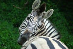 Retrato da zebra Imagens de Stock