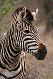 Retrato da zebra Fotografia de Stock