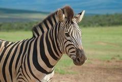 Retrato da zebra Imagem de Stock