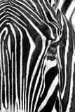 Retrato da zebra Fotos de Stock Royalty Free