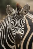 Retrato da zebra Fotografia de Stock Royalty Free