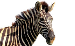 Retrato da zebra Foto de Stock Royalty Free