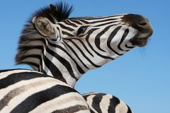 Retrato da zebra Imagem de Stock Royalty Free