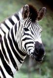 Retrato da zebra das planícies na reserva do jogo de Hluhluwe-Umfolozi Foto de Stock