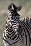 Retrato da zebra de Burchells Foto de Stock Royalty Free