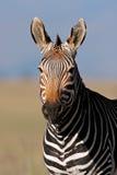 Retrato da zebra de montanha do cabo foto de stock royalty free