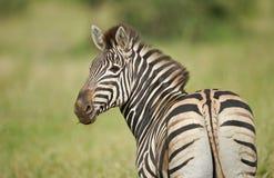Retrato da zebra de um Burchell selvagem imagens de stock royalty free