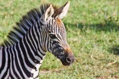 Retrato da zebra do bebê Fotografia de Stock Royalty Free