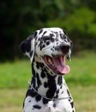 Retrato Dalmatian do cão ao ar livre Fotografia de Stock Royalty Free