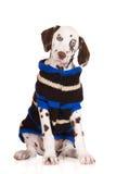 Retrato Dalmatian do filhote de cachorro Imagens de Stock Royalty Free