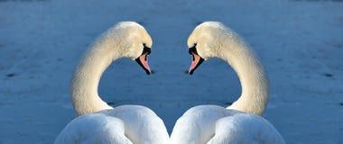 Retrato das cisnes Imagens de Stock