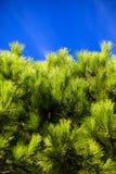Retrato das coníferas de encontro ao céu azul Imagem de Stock Royalty Free